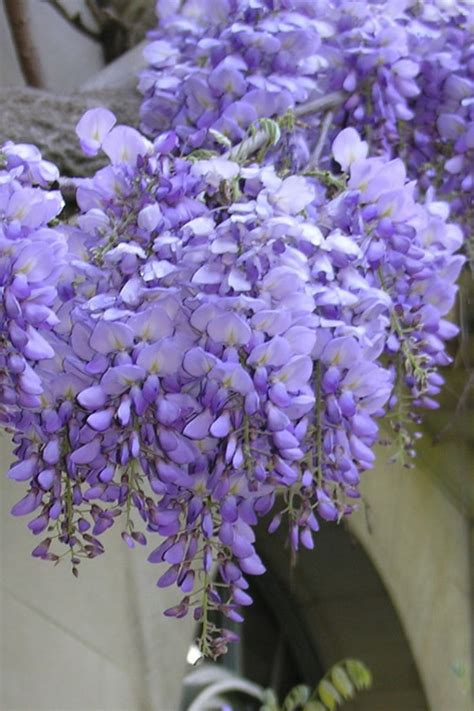 Buy Blue Chinese Wisteria Sinensis - FREE SHIPPING - 3