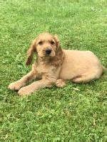 Dogs & puppies for sale in Tipperary,