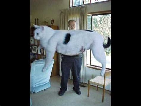 Worlds Biggest Cat (is it real) - YouTube