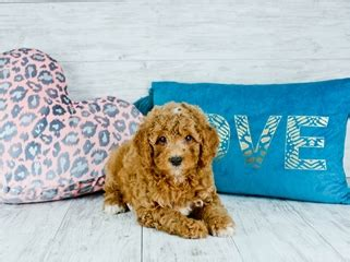 Teacup Cavapoo puppies For Sale in Florida | Cavapoo Home