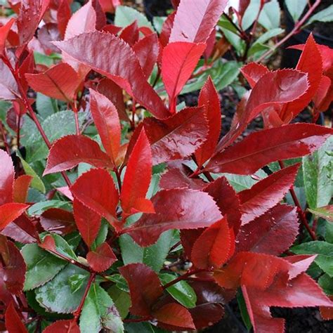 Photinia x fraseri Red Robin | Mail Order Trees