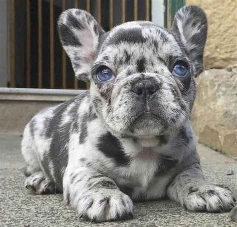 Blue Brindle Frenchie Price | Dog Breeds Picture