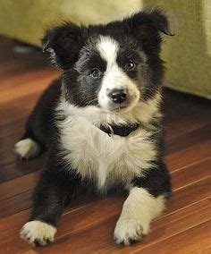 7 Facts That Will Make You Love the Border Collie German