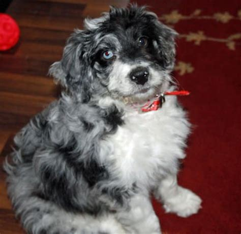Trace the Poodle Mix | Australian cattle dog, Cattle dogs