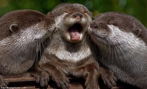 Otter-ly adorable! Family of otters are the picture of