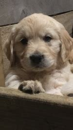 Dogs & puppies for sale in Ireland