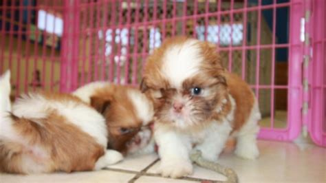 Puppies For Sale Local Breeders Sweet and Gentle Shih Tzu