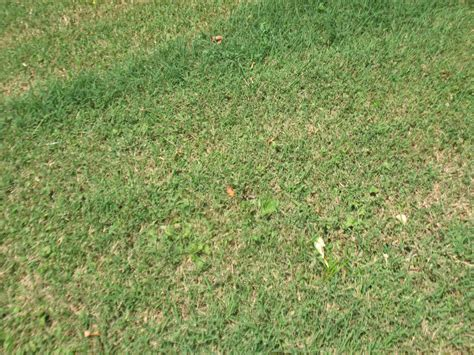 landscaping - Lawn problem - seasonal grass, thatch, or