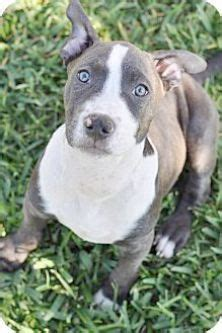 Border Collie American Pit Bull Terrier Mix - I think I