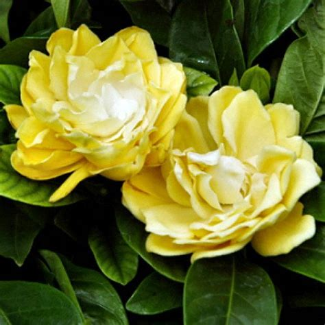 Rare 'Golden Magic' Gardenia - Changes Color from Ivory to