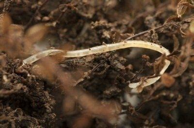 What Are Pot Worms: What To Do For White Worms In Compost