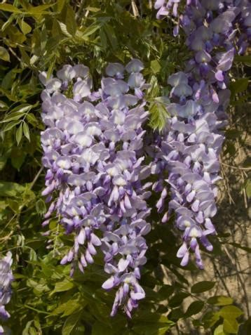 RP Seeds : Wisteria sinensis Blue (Chinese Wisteria) 8