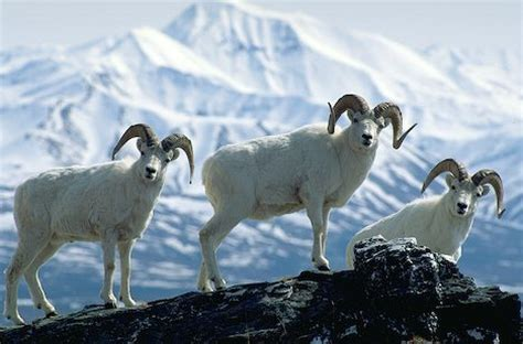 Dall Sheep Facts, Size, Color, Diet, Habitat, and Pictures