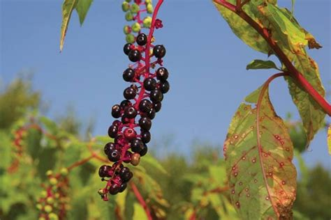 7 Popular Plants with Poisonous Berries - Empress of Dirt