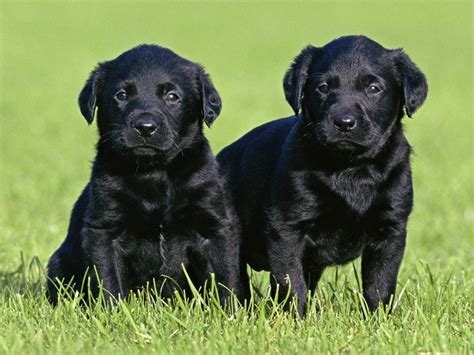 Lab Puppies For Sale In Nh | Top Dog Information