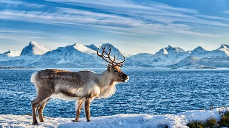 Reindeer history and some interesting facts