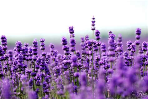Lavender Picture For Wallpaper - We Need Fun