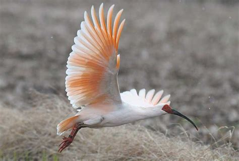 Japanese Crested Ibis | JapanVisitor Japan Travel Guide