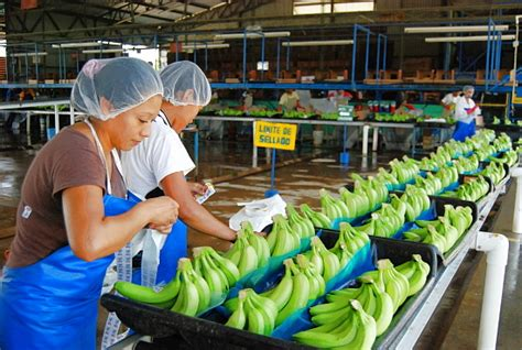 The challenges of banana cultivation in Mexico | Geo