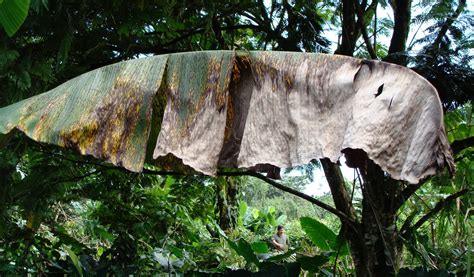 Banana Research | All about Fusarium Wilt and Black Sigatoka