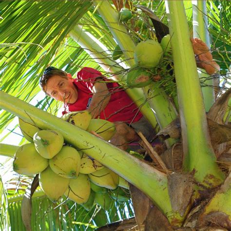 Climbing and harvesting coconuts
