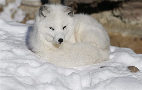 Fewer Arctic foxes born in Sweden – Eye on the Arctic