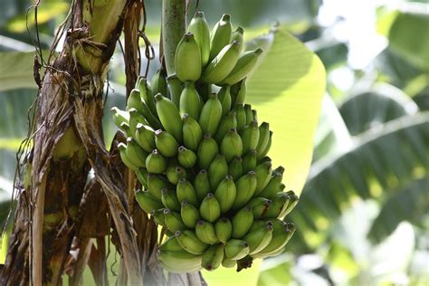 Impressive Information About Banana Trees You Had Always