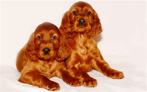 Irish Setter Dog Breed Information & Pictures of Puppies